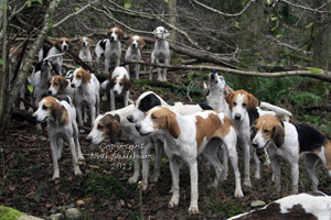 Foxhounds in Cumbria by Betty Fold Gallery